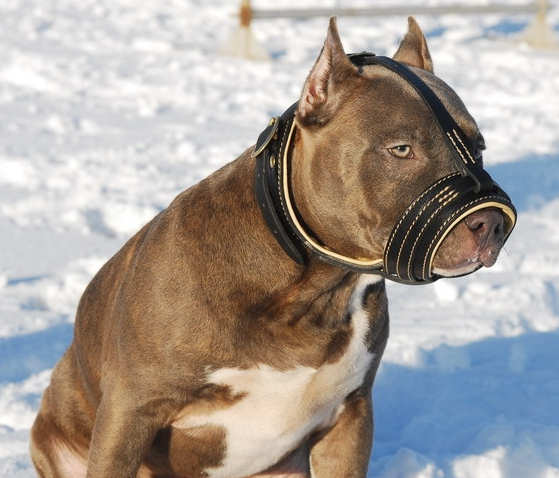 Details about Leather Dog Muzzle Amstaff Rottweiler Pit Bull Mastiff